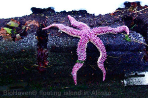 Alaska: Starfish on BioHaven® floating island