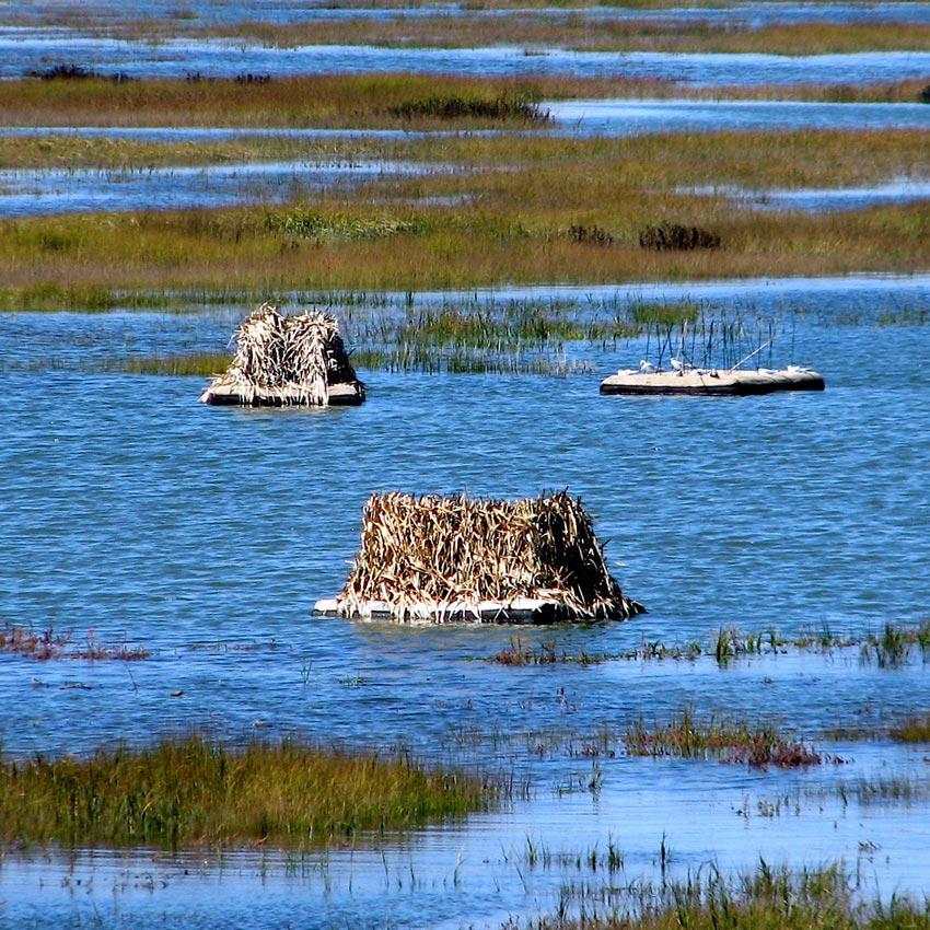 Nesting Island, clapper rail