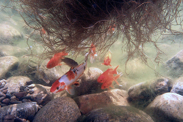 koi pond and healthy koi swimming under a floating island where roots hold microbes and oxygen bubbles