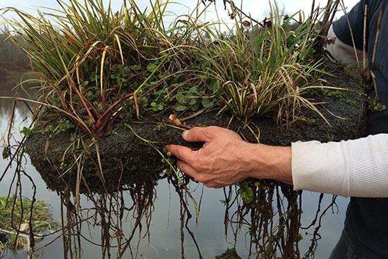 minifloating island with roots that will uptake excess nutrients in a green pond with excess algae