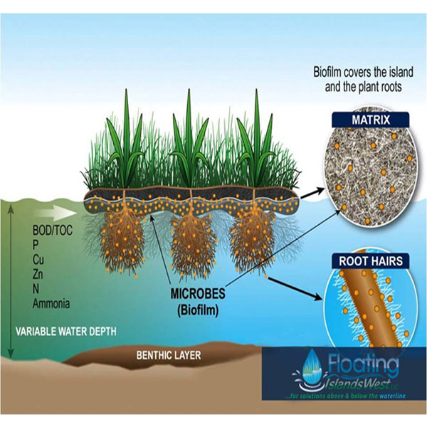 Artists rendering of floating island science, as a natural solution to algae, biofilm attaches to roots, attracts microbes which in turn consume nitrogen, phosphorus, and other excess nutrients that create green pond water