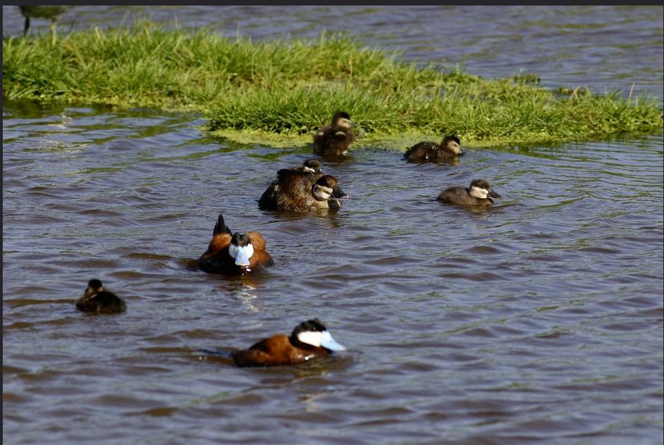 a family of seven ruddy ducks swim around a floating island